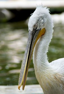 Free Pelican Closeup Stock Photography - 14357562