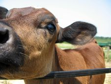Free Up Close With Cow On A Farm Royalty Free Stock Photography - 14357997