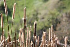 Free Cattails Stock Photography - 14358312
