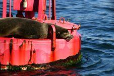Free Sleeping Sea Lion Royalty Free Stock Photography - 14358377