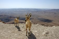 Free Two Young Goats. Royalty Free Stock Photography - 14359427