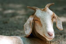 Free Smile Goat Stock Photo - 14359980