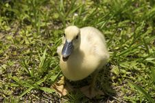 Free One Duckling Royalty Free Stock Images - 14360969