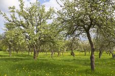 Free Blossoming Orchard Stock Photography - 14361162