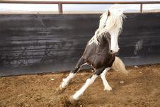 Free Stallion Turning Stock Photo - 14361190