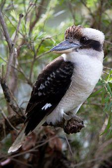 Free Kookaburra Stock Photo - 14361290