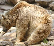 Free Bear Sitting Royalty Free Stock Photography - 14363017