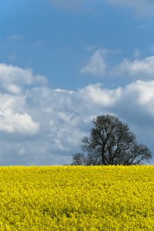 Free Rape Seed Crop 003 Royalty Free Stock Images - 14363729