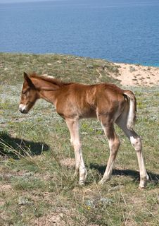 Free Brown Foal Royalty Free Stock Photo - 14364095