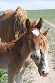 Brown Foal Staring At The Camera Royalty Free Stock Image