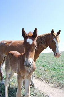 Brown Foal And Mare Staring At The Camera Royalty Free Stock Image