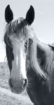 Free Portrait Of A Horse Royalty Free Stock Image - 14364166