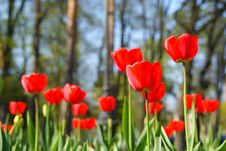 Free Three (much) Red Tulips Royalty Free Stock Photo - 14364255