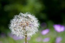 Free Dandelion Stock Image - 14366711
