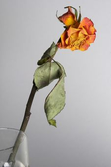 Free Faded Rose Stock Photo - 14366730