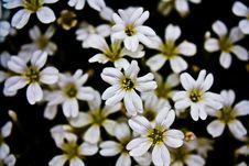 Free White Flowers Royalty Free Stock Image - 14366816