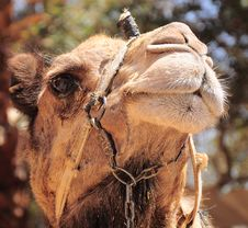 Free Camel Portrait. Royalty Free Stock Photography - 14368197