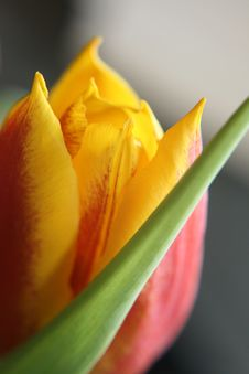 Free Red And Yellow Tulip Royalty Free Stock Photos - 14369758