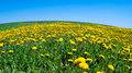 Free Field Of Blossoming Dandelions Royalty Free Stock Image - 14373696