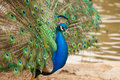 Free Impressive Peacock With Feathers Spread Royalty Free Stock Photo - 14374305