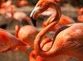 Free Flock Of Beautiful Flamingos Stock Photo - 14374340