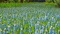 Free Common Grape-hyacinths Stock Photos - 14374763
