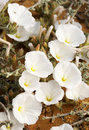Free Bindweed On The Sand Stock Photos - 14375313