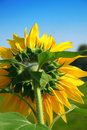 Free Sunflower Royalty Free Stock Image - 14375776