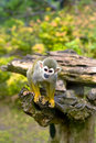 Free Common Squirrel Monkey Royalty Free Stock Images - 14378209