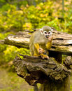 Free Common Squirrel Monkey Royalty Free Stock Photos - 14378218