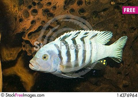Striped Cichlid in Aquarium Stock Photo