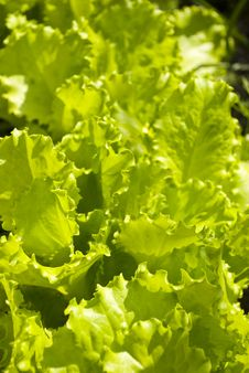 Salad On A Flower-bed Royalty Free Stock Images