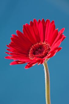 Free Red Gerber Daisy Stock Photos - 14371113