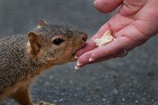 Free Squirrel Stock Photo - 14371150