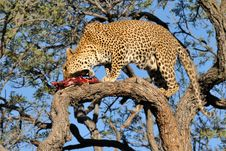 Namibia - Leopard Stock Photography