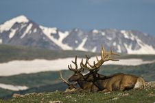 Deer In The Mountains Stock Photography