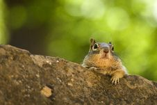 Free Chipmunk Stock Images - 14372334