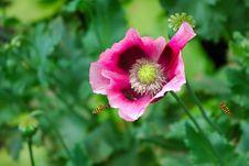 Free Poppy Royalty Free Stock Photos - 14372548