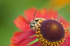 Free Bee On Flower Stock Image - 14373291