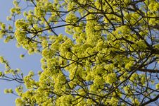 Free Spring Maple Flowers Stock Photos - 14373323