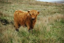 Free Young Brown Highland Cow Royalty Free Stock Image - 14373326