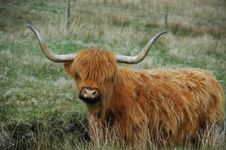 Free Brown Highland Cow With Serious Horns Stock Images - 14373344