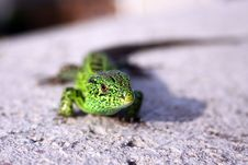 Free Green Lizard Stock Image - 14373371