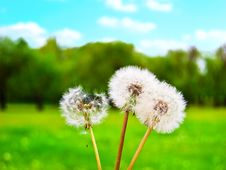 Free White Fluffy Dandelions Against A Green Glade Stock Photos - 14373463