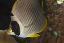 Free Panda Butterflyfish Stock Photo - 14373550