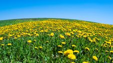 Field Of Blossoming Dandelions Royalty Free Stock Image