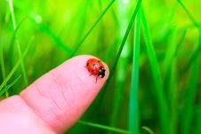 Ladybug On Fingertip Royalty Free Stock Image