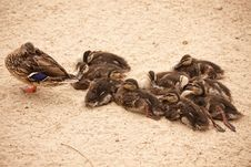 Mother Mallard Duck Rests With Ducklings Stock Image