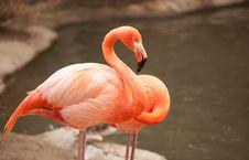 Free Beautiful Flamingo Couple Rest Royalty Free Stock Photos - 14374318