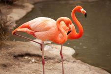 Free Beautiful Flamingo Couple Rest Stock Image - 14374321
